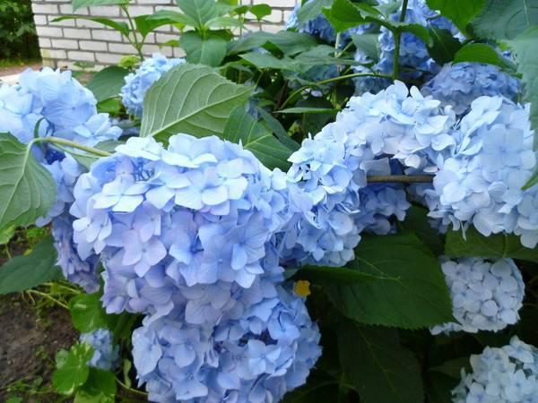 Почему гортензия набрала цвет и не зацвела. почему гортензия не цветет, а только дает листву