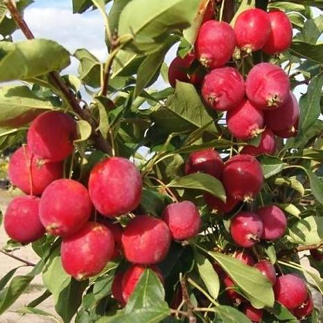Прекрасная яблоня рудольф