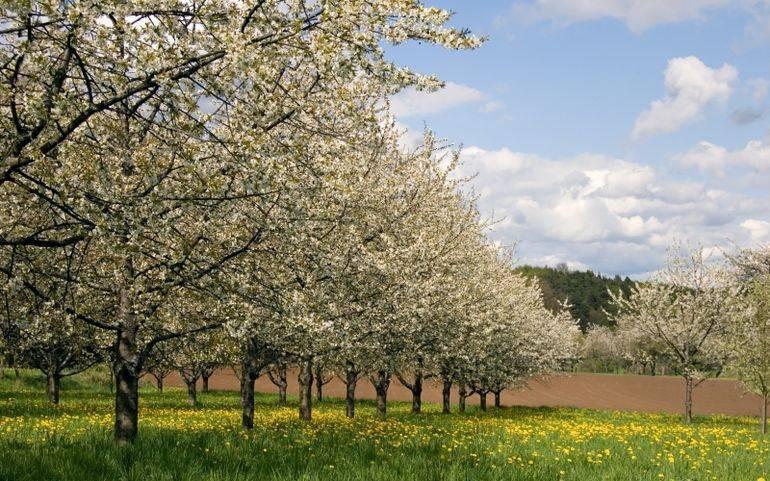 Как избавиться от поросли вишни: 7 действенных способов + правильный уход