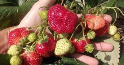 Клубника елизавета: обзор и описание садового сорта. правильная посадка и выращивание рассады своими руками (105 фото)