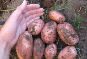 Эволюшн картофель характеристика