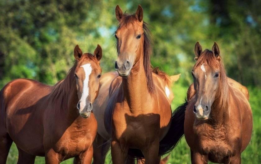 Сколько живут лошади?