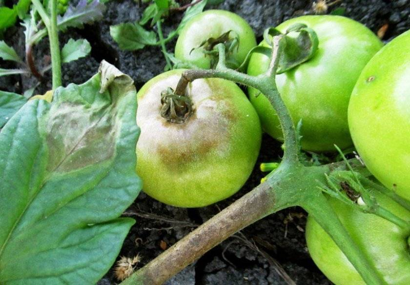 Фитофтороз томатов – болезнь, которую можно победить