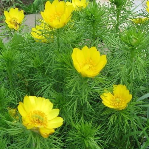 Многолетние клубнелуковичные растения