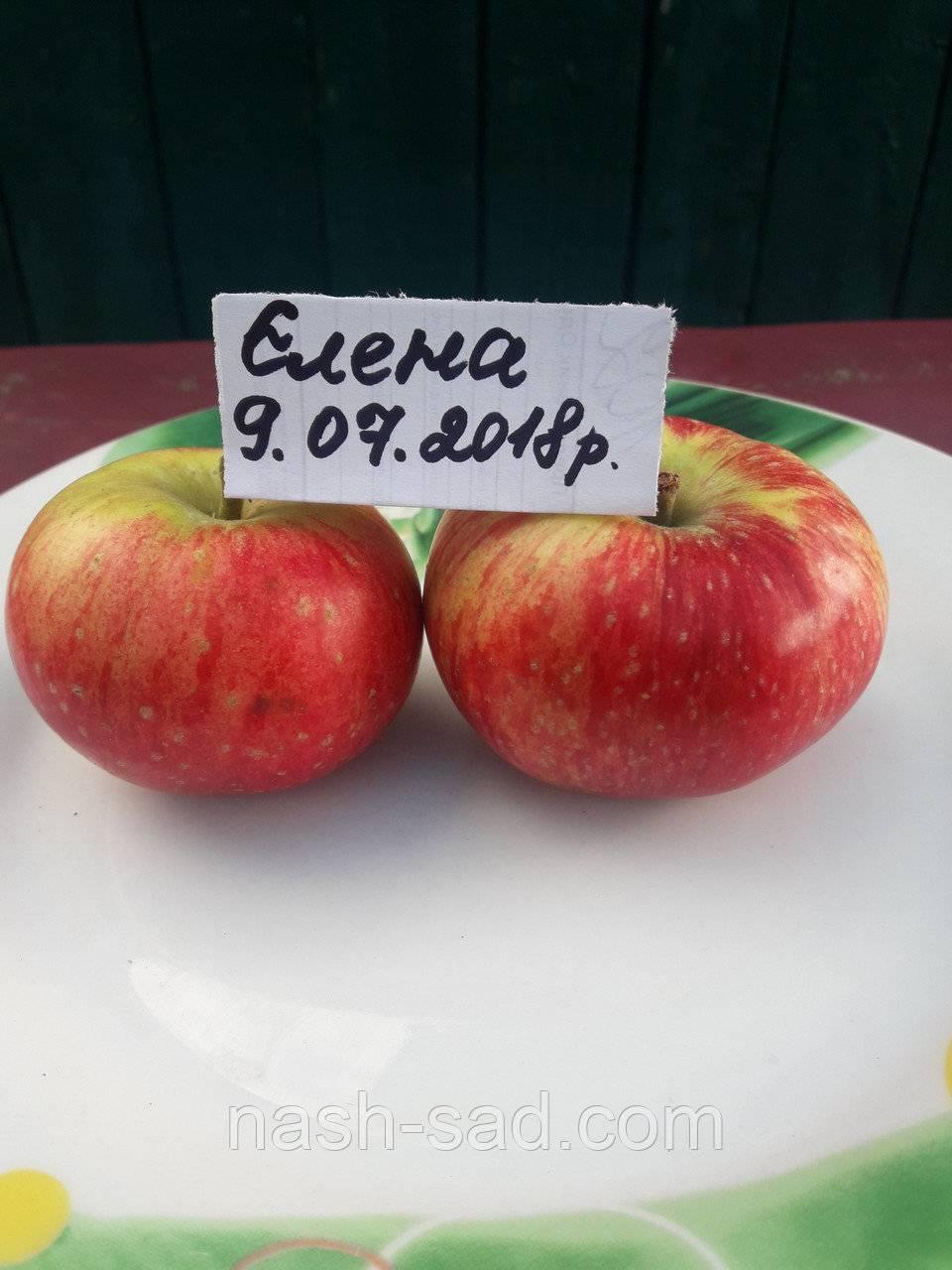 О яблоне Елена: описание сорта, характеристики, агротехника, выращивание
