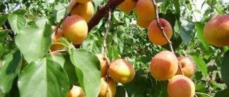 Почему абрикос не плодоносит: причины, что делать