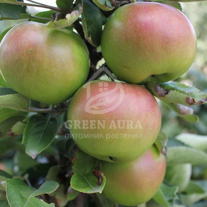 Агротехника выращивания яблони «антоновка»