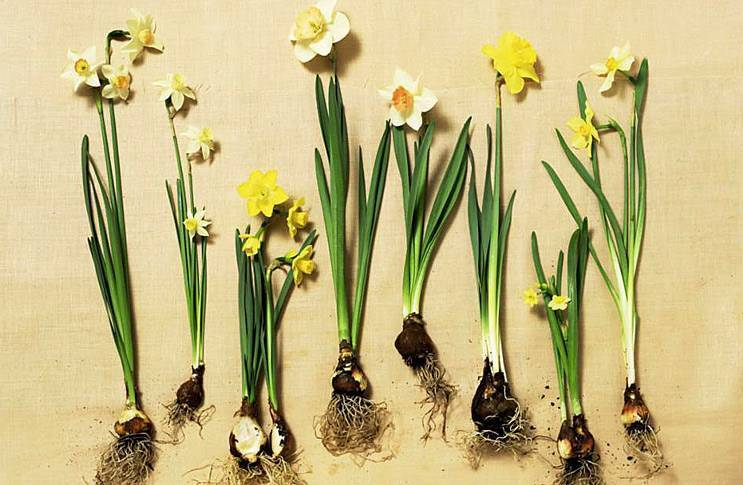 Нарциссы в горшочках отцвели. что с ними делать?