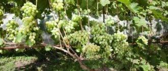 Почему осыпаются завязи на винограде?