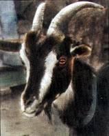 Виды и особенности содержания домашних коз