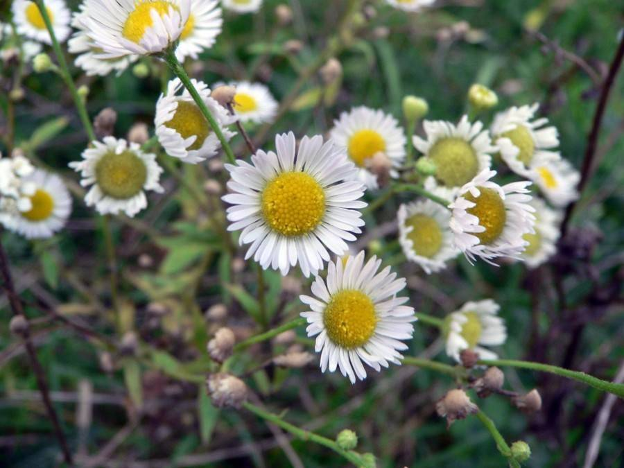 Виды и сорта ромашки: 4 особенности вида, правила посадки и ухода