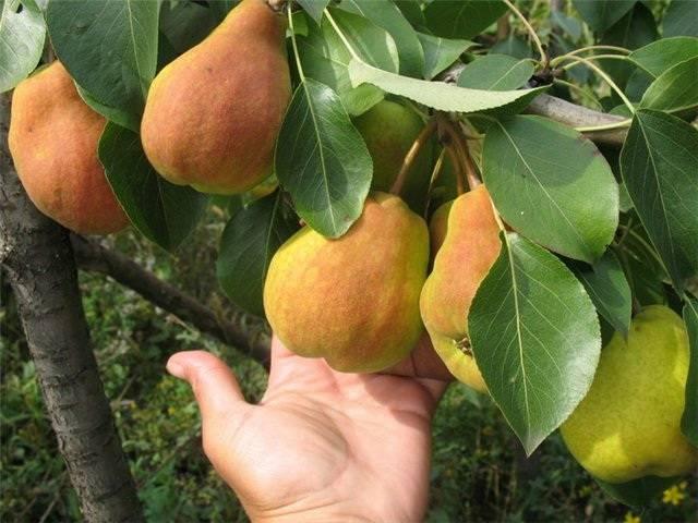 Выращиваем грушу 'сказочная' в своем саду: правила посадки и особенности ухода