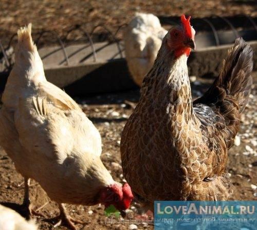 Воспаление зоба у кур: причины, симптомы, лечение и профилактика