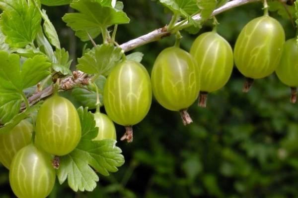 Крыжовник консул: описание сорта, выращивание, плюсы и минусы - общая информация - 2020