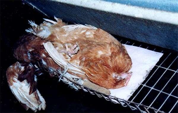 Почему дохнут цыплята и куры – что это за болезнь и что делать