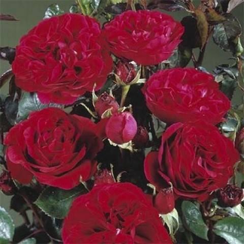 Роза ренессанс