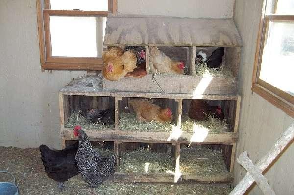 Гнезда с яйцесборником для кур-несушек (39 фото): как сделать гнездо своими руками по чертежам? размеры