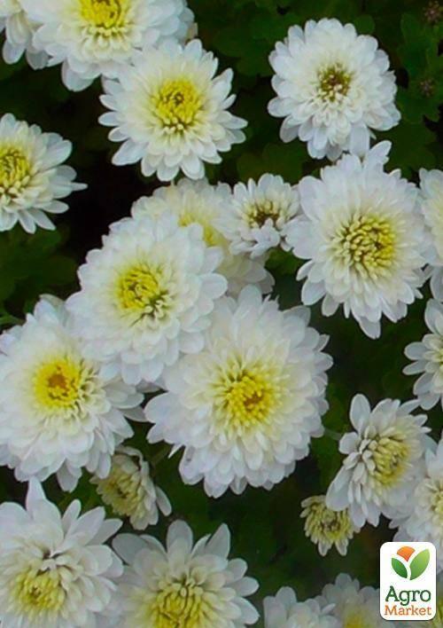 Кустовая хризантема садовая многолетняя: посадка и уход, фото