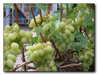 Ранние сорта винограда для средней полосы. виноград: топ-7 сортов для средней полосы