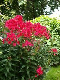 Посадка флоксов осенью когда и как посадить. посадка флоксов семенами и на рассаду