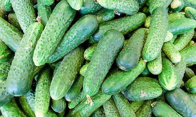 Огурцы зозуля: описание и характеристика сорта, выращивание в теплице и открытом грунте