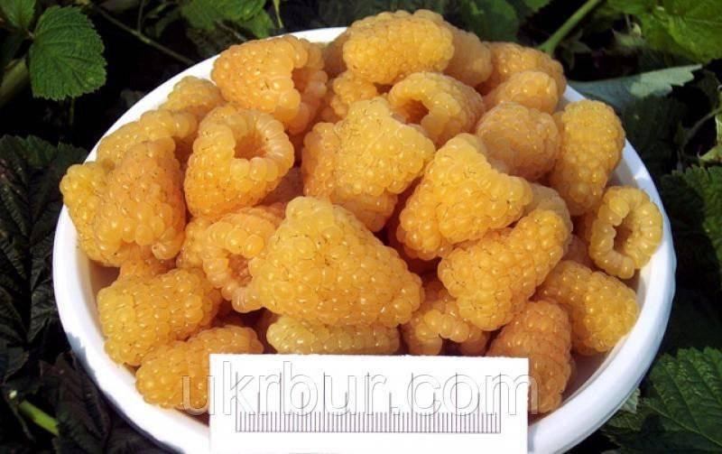 Отличный выбор желтой малины — сорт золотые купола