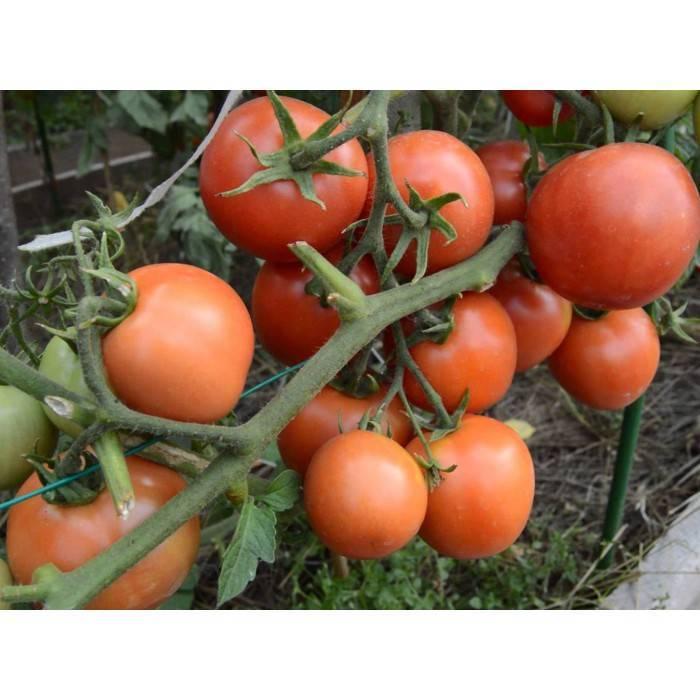 Томат сорта ямал: описание, преимущества, особенности выращивания рассады, высадка в грунт, правила ухода, способы повышения урожайности, отзывы