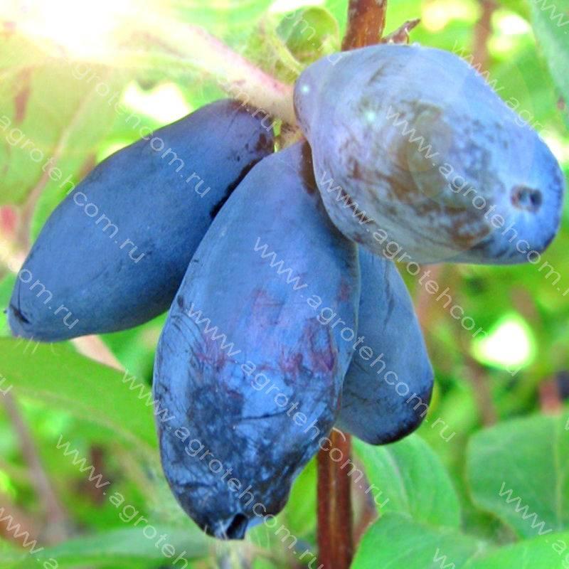 Жимолость «фиалка» — особенности выращивания