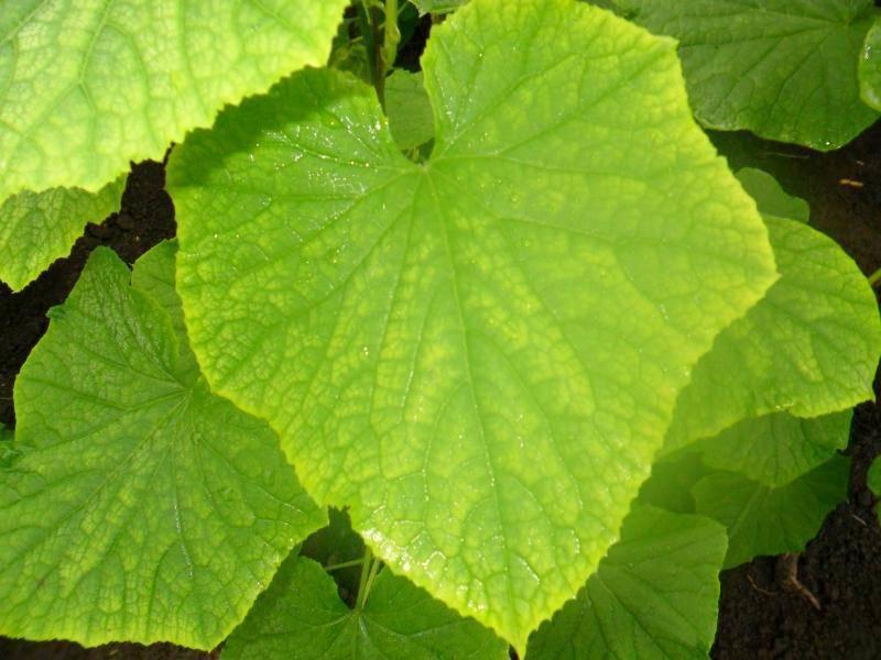 Обработка огурцов от пожелтения листьев: чем опрыскать, полить, народные средства