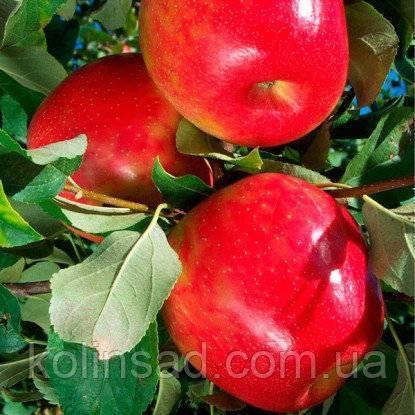 Характеристики яблони сорта «хани крисп»: фото, отзывы
