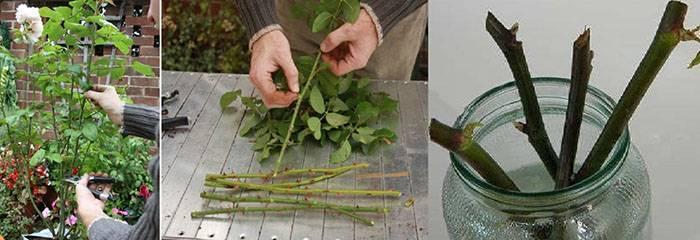 Как укоренить гибискус или размножение в домашних условиях из черенка и семян