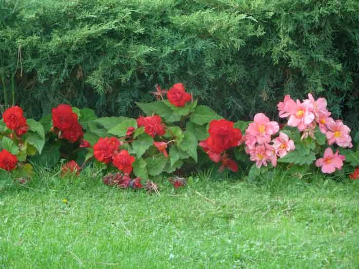 Бегония клубневая: посадка и уход в домашних условиях за комнатным цветком в горшке и за растением, находящемся в открытом грунте в саду, фото