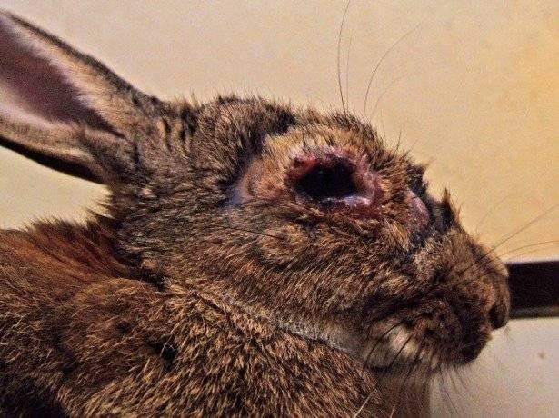 У кролика опухли глаза: что за болезнь, как лечить