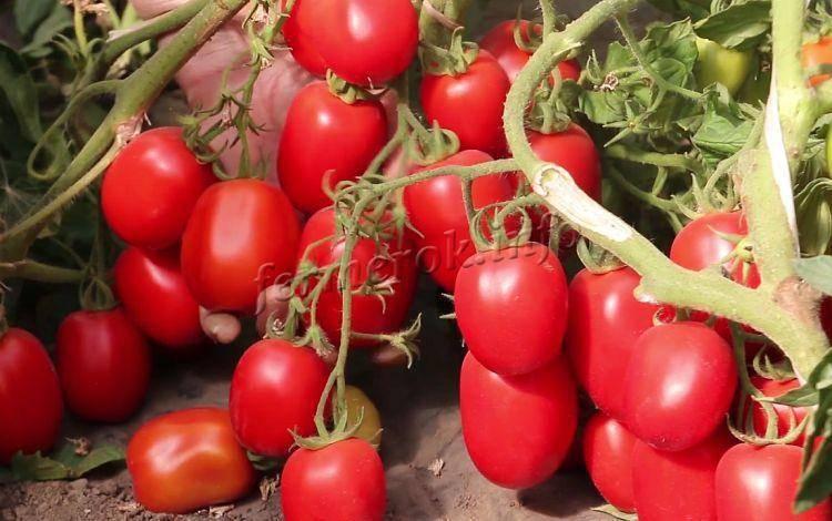 Томат псамафа: описание сорта, отзывы, фото, урожайность   tomatland.ru