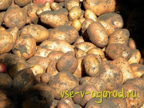 Особенности выращивания картофеля в ящиках