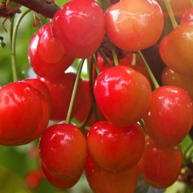Черешня брянская розовая – 12 особенностей и советы по посадке и уходу