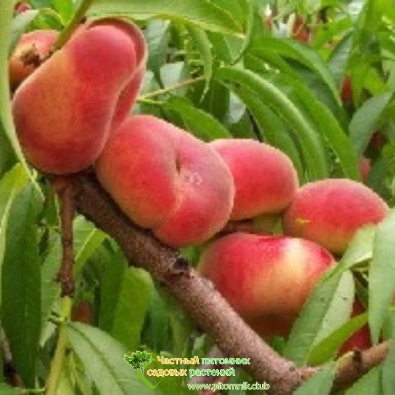 Персик инжирный: калорийность, польза и свойства