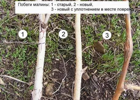 Обрезка малины, когда и как ее правильно делать – рекомендации садоводам