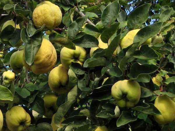 Айва японская: условия выращивание и посадка