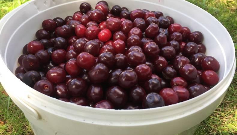Различие между вишней и черешней. чем вишня отличается от черешни