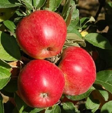Сорт яблони анис свердловский – описание, фото