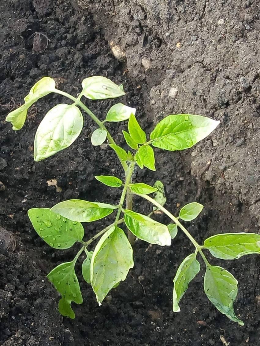 Выращивание в домашних условиях рассады баклажан: болезни и борьба с ними