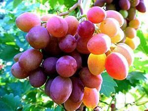 Секреты правильной посадки винограда