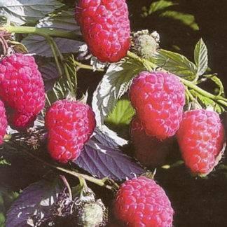 Особенности выращивания и ухода за клубникой сорта гигантелла