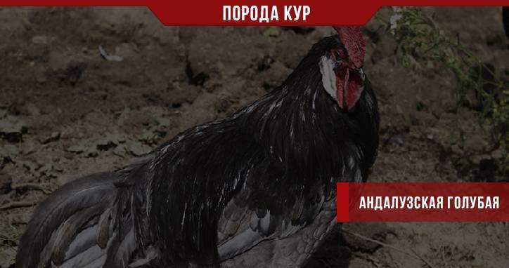 Андалузская голубая (порода кур) — википедия переиздание // wiki 2