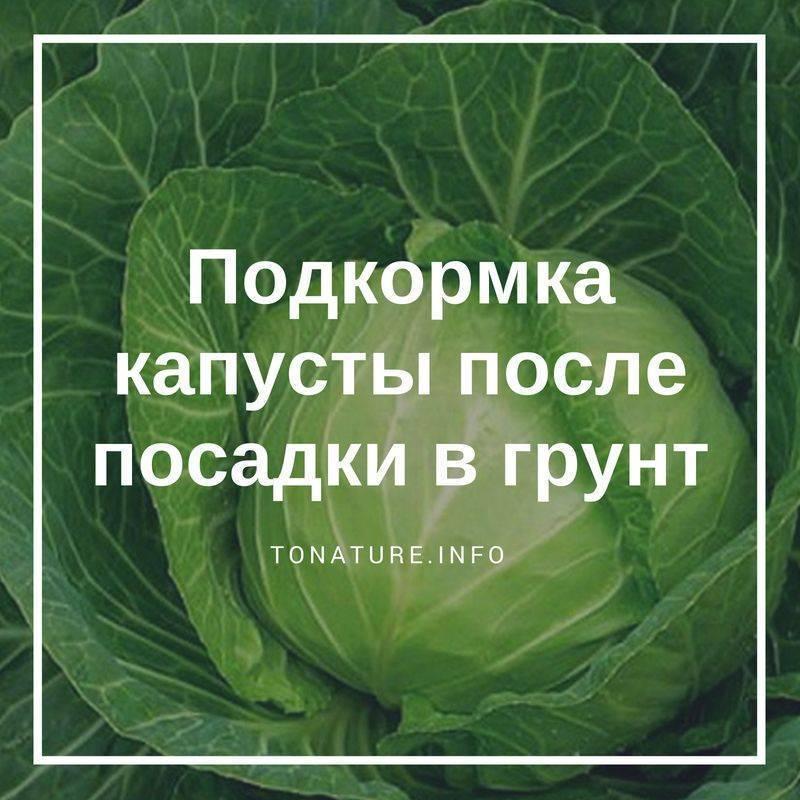 Чем подкормить капусту после высадки в грунт?