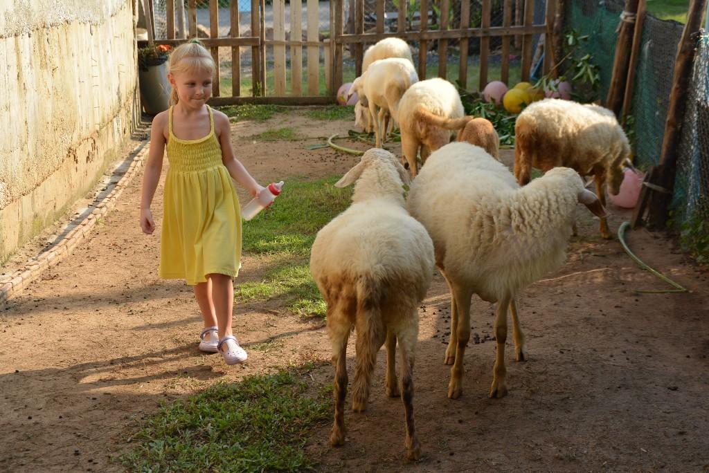 Разведение овец и баранов в домашних условиях