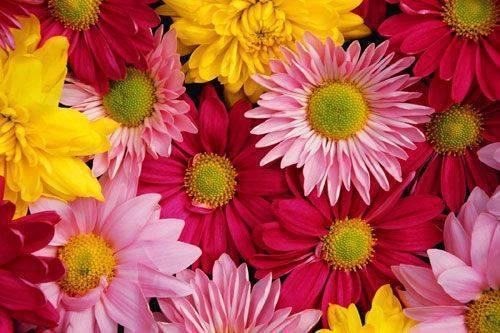 Укоренение хризантемы из букета в домашних условиях: как черенковать, выращивать