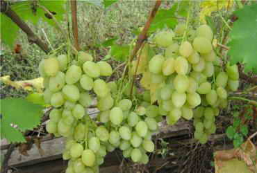 Нормирование количества кистей на винограде