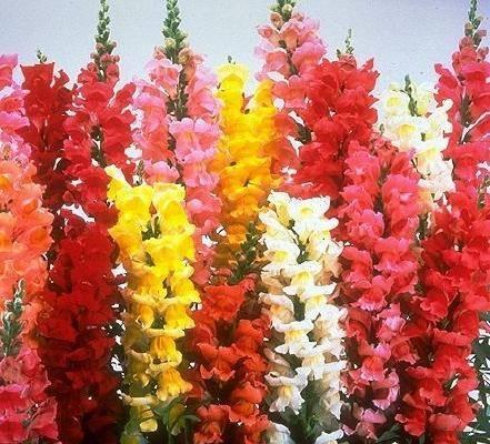 Многолетний львиный зев: посадка и уход, фото цветов собачки, выращивание из семян, описание и виды цветка, правильная посадка для начинающих